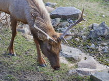 Tule elk closeup portrait. One Tule elk pasturing among stones on meadow closeup portrait Stock Photography