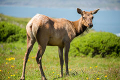 Tule Elk Cow (Cervus canadensis nannodes) looking back in alert Royalty Free Stock Image