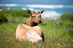 Tule Elk Cow (Cervus canadensis nannodes) resting in the lush meadows and looking back in alert Stock Photo