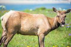 Tule Elk Cow (Cervus canadensis nannodes) grazing and sticking out tongue Royalty Free Stock Photo