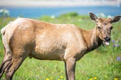 Tule Elk Cow - Cervus canadensis nannodes, Point Reyes National Seashore, California Royalty Free Stock Photo
