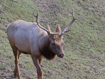 Tule elk on meadow. One Tule elk walking on meadow portrait Royalty Free Stock Photography
