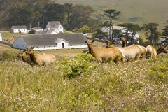 Tule Elk in Northern Californi. Shot of Tule Elk overlooking a historic ranch in Northern California Stock Images