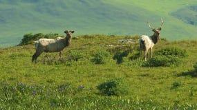 Tule Elk stock image
