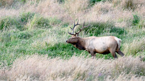 Tule Elk. A Tule Elk in Point Reyes National Seashore, California Stock Photography
