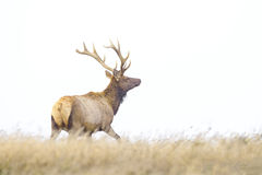 Tule Elk. In Point Reyes National Seashore, California Royalty Free Stock Photography