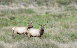 Tule Elk. In Point Reyes National Seashore, California Royalty Free Stock Images
