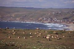 Tule Elk at Seashore. Tule Elk at Tomales Bluff and Bodega Bay, Point Reyes National Seashore, California Royalty Free Stock Images