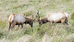 Tule Elk Sparring. Tule Elk bulls Sparring head to head in Point Reyes National Seashore, California Royalty Free Stock Image