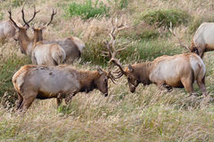 Tule Elk Sparring. Two male elk sparring in rutting season, Point Reyes National Seashore, CA Royalty Free Stock Photo