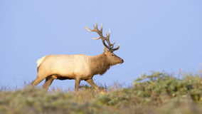 Tule Elk in Sunset light Royalty Free Stock Images