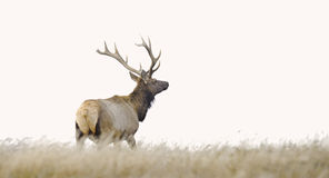 Tule Elk Royalty Free Stock Photos