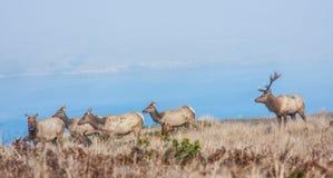 Tule elks Stock Image