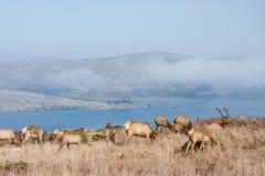 Tule elks Royalty Free Stock Photo