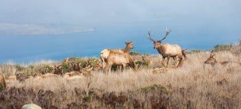 Tule elks Stock Photo