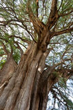 Tule tree in Mexico Stock Photo