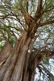 Tule tree in Mexico Stock Photo