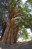 Tule tree in Mexico Stock Image