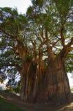 Tule tree in Mexico Royalty Free Stock Photo