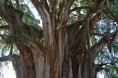 Tule tree. The widest tree in the world Stock Photos