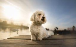 Tulear Porträthund Baumwolldes auf Dock lizenzfreie stockbilder