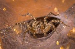 Tulejowej sieci pająk Obraz Royalty Free