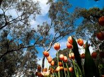 Tuliip et arbres de gomme Photos stock