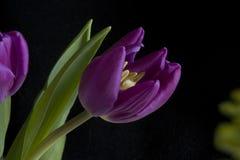Tulipán Foto de archivo libre de regalías