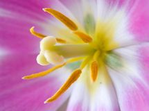 Tulipán 2 Fotos de archivo