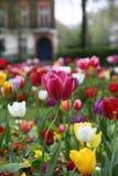 Tulipán 2 Imagen de archivo libre de regalías