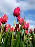 Tulipán 3 Fotos de archivo libres de regalías