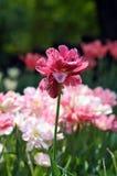 Tulipán Foto de archivo