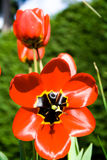 Tulipán imágenes de archivo libres de regalías