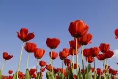 Tulipán Imagenes de archivo