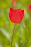 Tulipán Fotografía de archivo libre de regalías