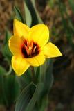 Tulipán. Fotos de archivo