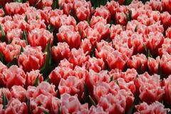 Tulipán 17 Imágenes de archivo libres de regalías