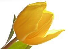 Tulipán amarillo Foto de archivo