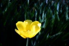 Tulipán amarillo Fotografía de archivo libre de regalías