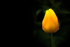 Tulipán amarillo Imagen de archivo libre de regalías