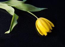Tulipán amarillo con gotas del agua Fotos de archivo libres de regalías