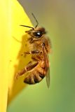Tulipán amarillo de la abeja Imagen de archivo libre de regalías