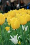 Tulipán amarillo en el jardín de Italia fotos de archivo