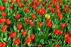 Tulipán amarillo entre el rojo Imagenes de archivo