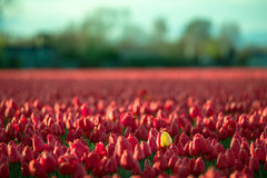 Tulipán amarillo entre los tulipanes rojos Imágenes de archivo libres de regalías
