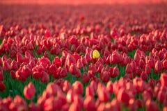 Tulipán amarillo entre los tulipanes rojos Fotos de archivo