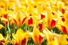 Tulipán amarillo floreciente Imágenes de archivo libres de regalías