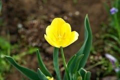 Tulipán amarillo hermoso Imagen de archivo