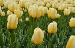 tulipán amarillo hermoso y empañar el fondo Fotografía de archivo libre de regalías