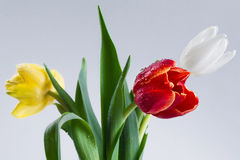 Tulipán amarillo rojo blanco Imagen de archivo